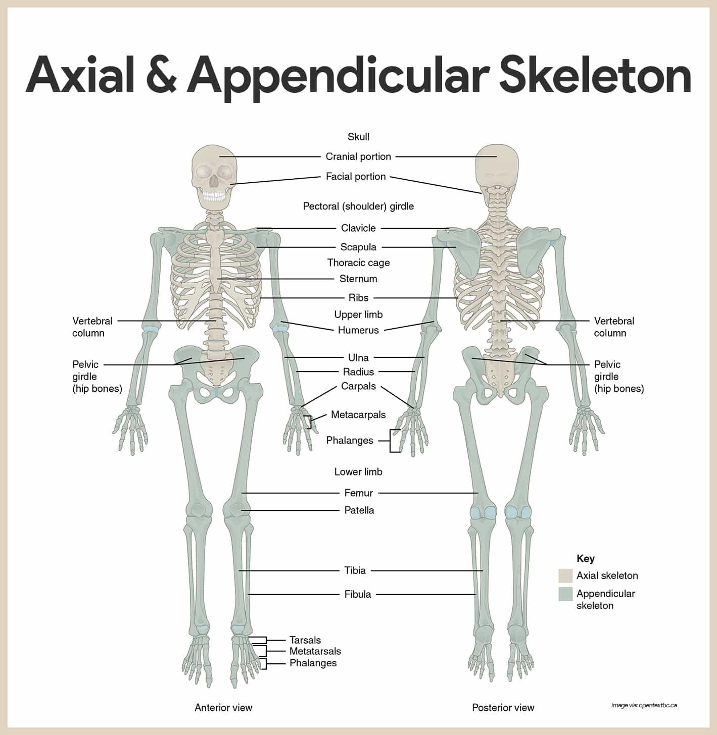 Skeletal System Diagram Skeletal System Anatomy And Physiology Nurseslabs
