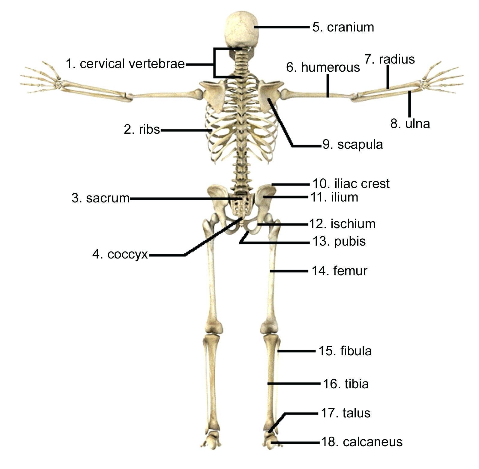 Skeletal System Diagram Skeletal System Coloring Bluedotsheetco