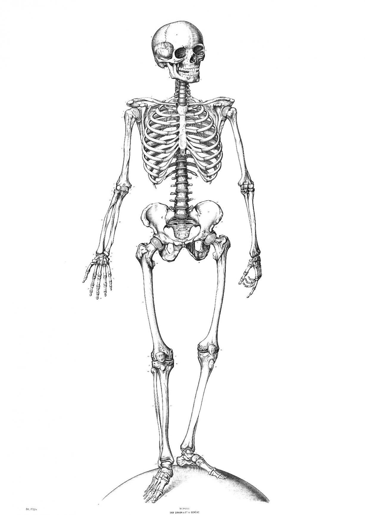 Skeletal System Diagram Skeletal System Diagram Quiz Manicpixi