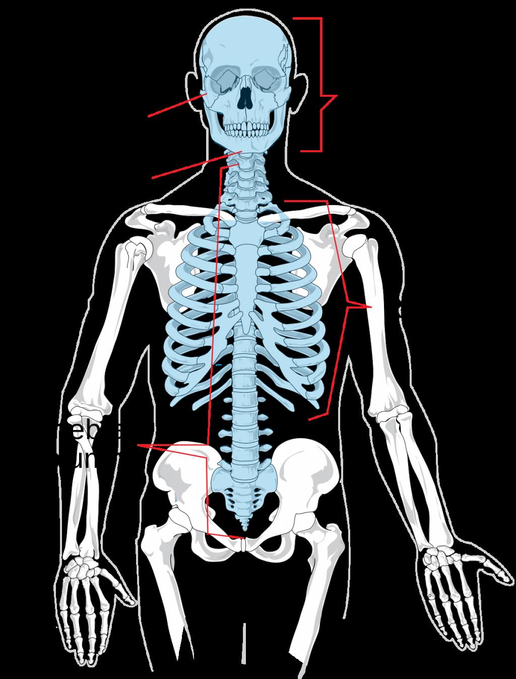 Skeletal System Diagram Skeletal System Diagrams Printable Diagram Flowcharts Flow Chart
