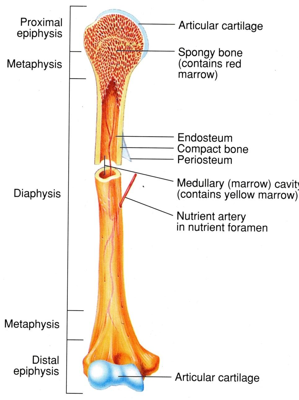 Skeletal System Diagram Skeletal System Diagrams
