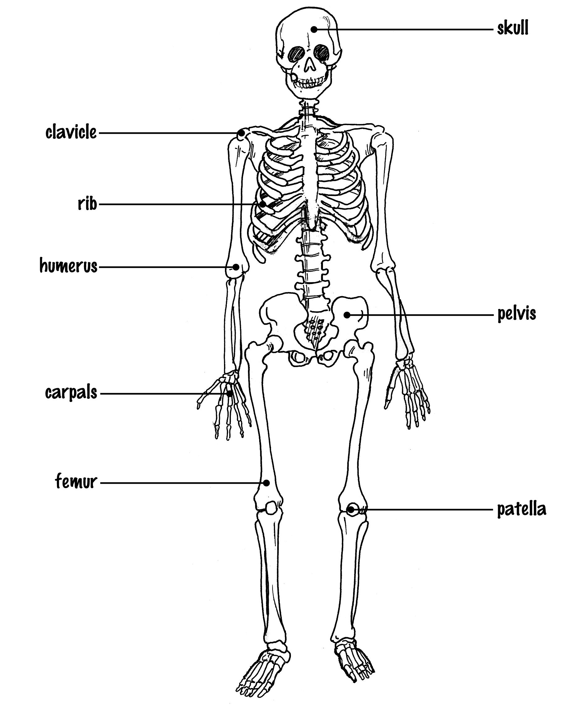 Skeletal System Diagram Skeletal System Drawing At Paintingvalley Explore Collection