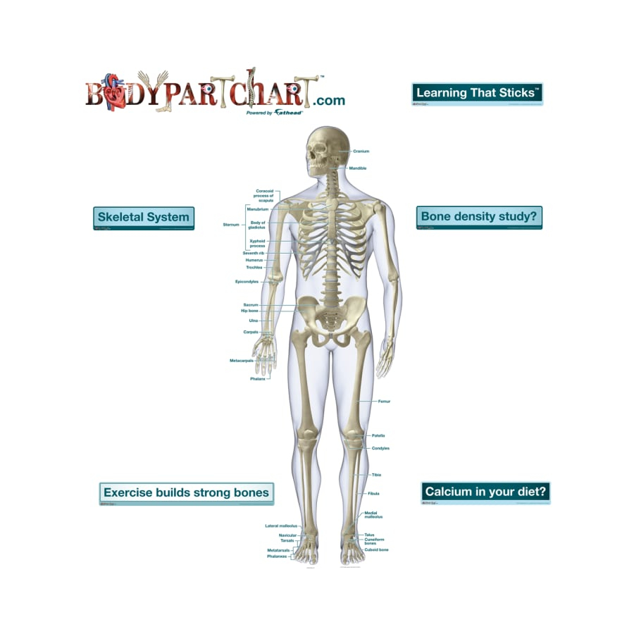Skeletal System Diagram Skeletal System Front View Labeled Body Part Chart Removable Wall Graphic