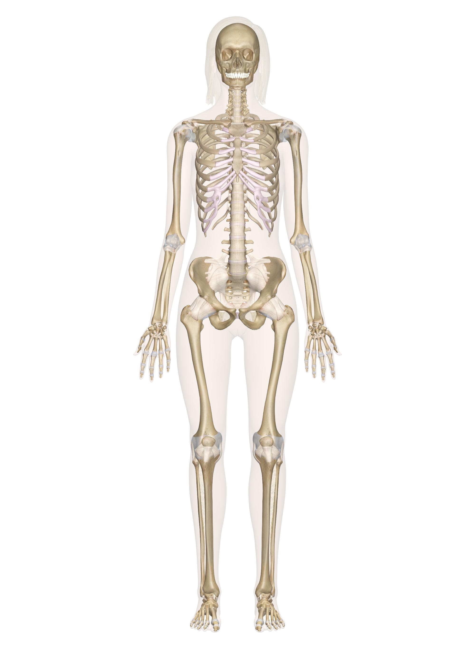 Skeletal System Diagram Skeletal System Labeled Diagrams Of The Human Skeleton