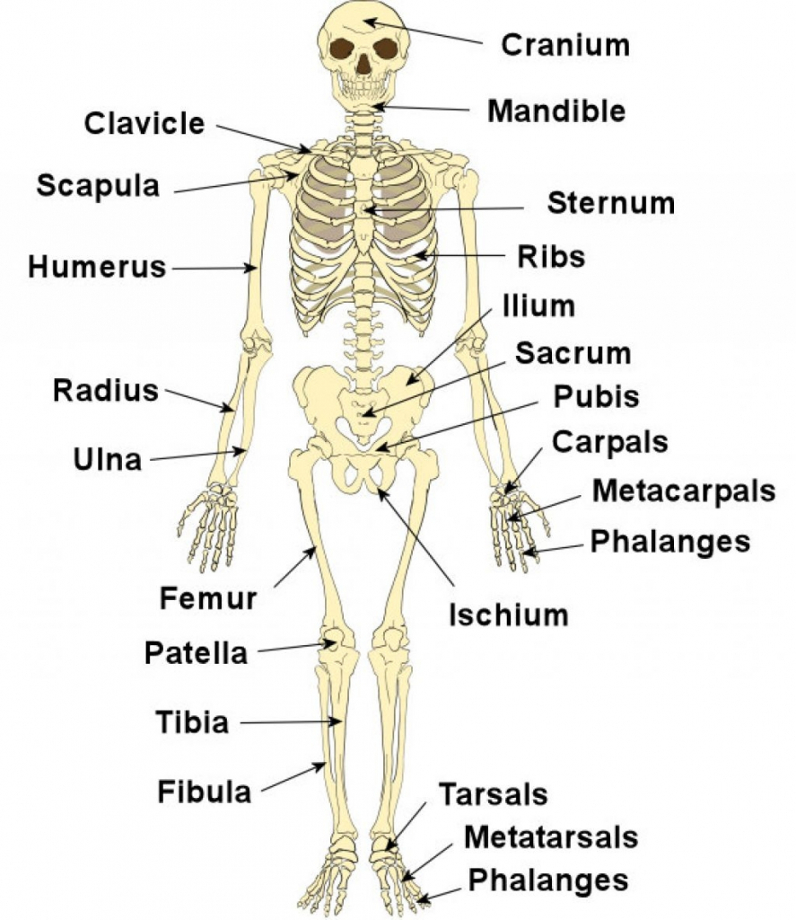 Skeletal System Diagram Skeletal System Sketch At Paintingvalley Explore Collection Of