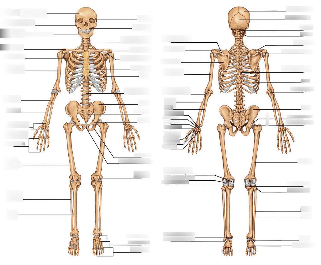 Skeletal System Diagram Teas 6 Skeletal System Diagram Diagram Quizlet
