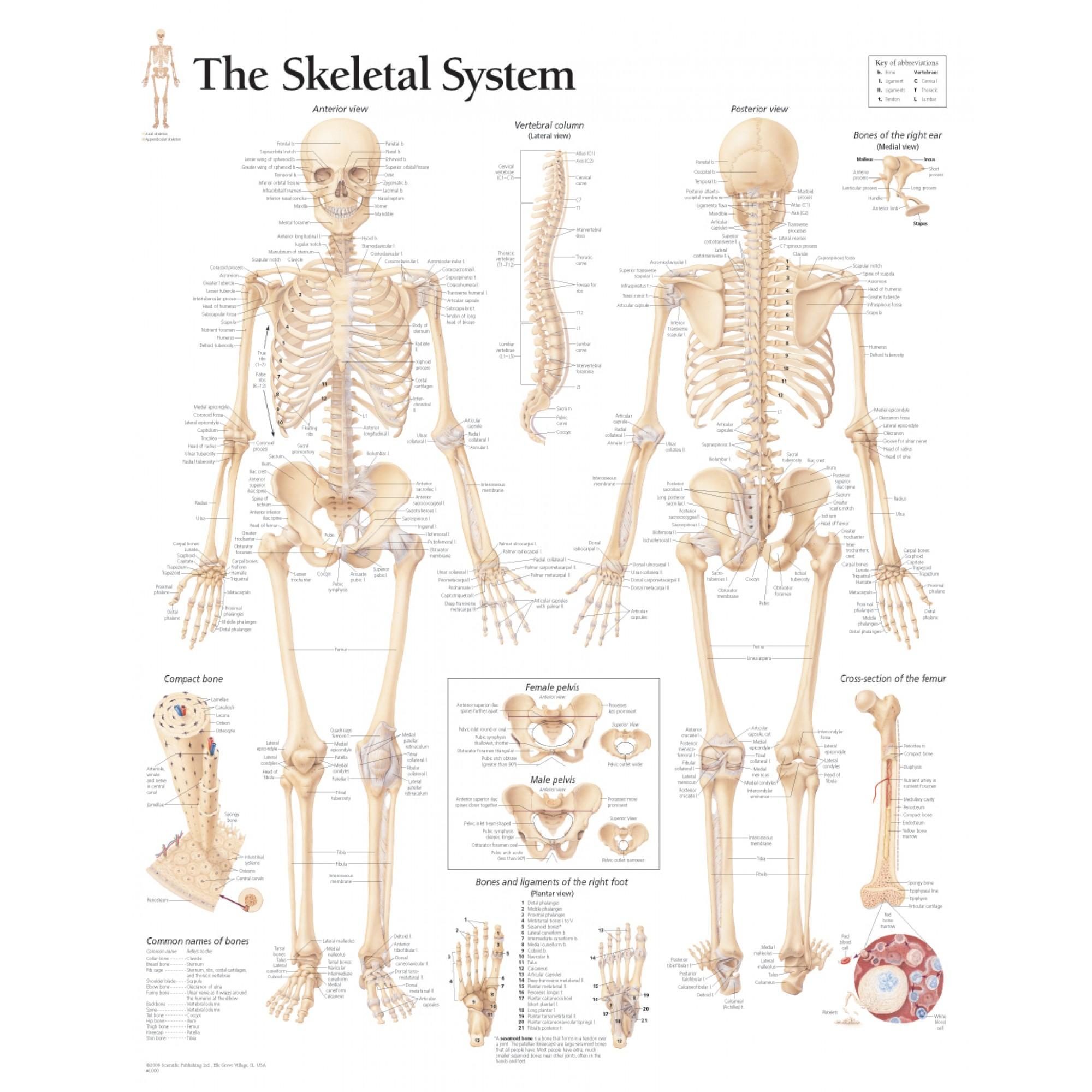 Skeletal System Diagram The Skeletal System Chart