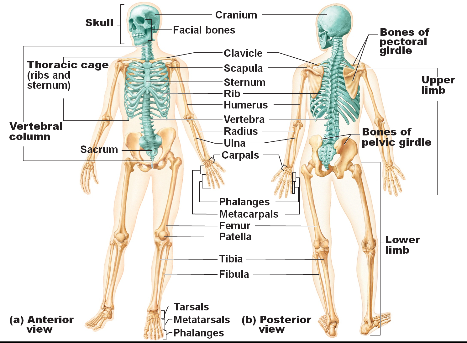 Skeletal System Diagram What Part Of The Skeletal System Includes The Bones Of The Skull