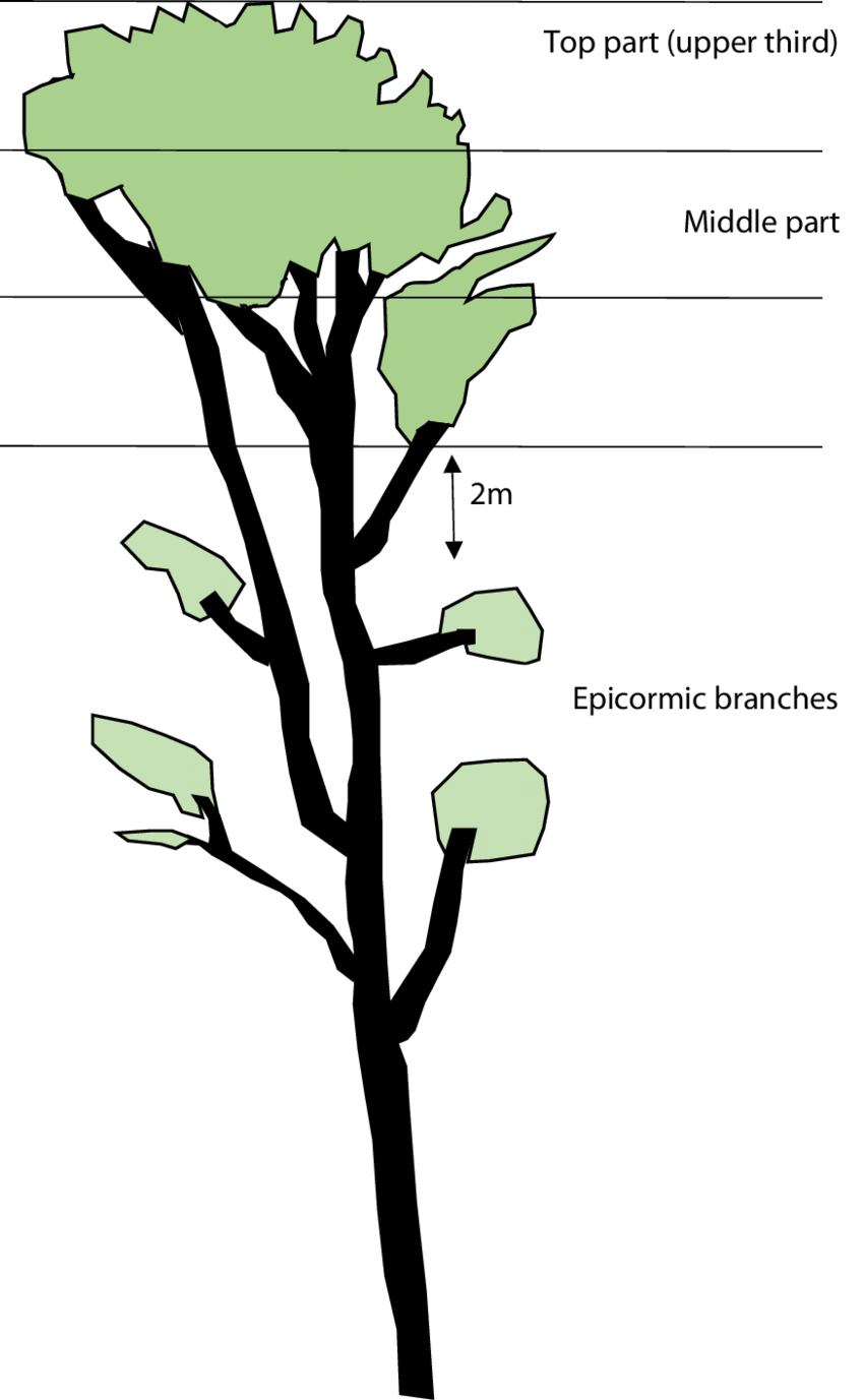 Tree Diagram Definition Definition Of Assessed Parts Of The Tree Crown Drawing S Fleck
