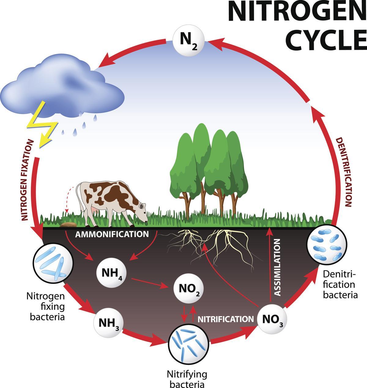 Tree Diagram Definition Nitrogen Cycle Tree Diagram Wiring Diagram Srconds