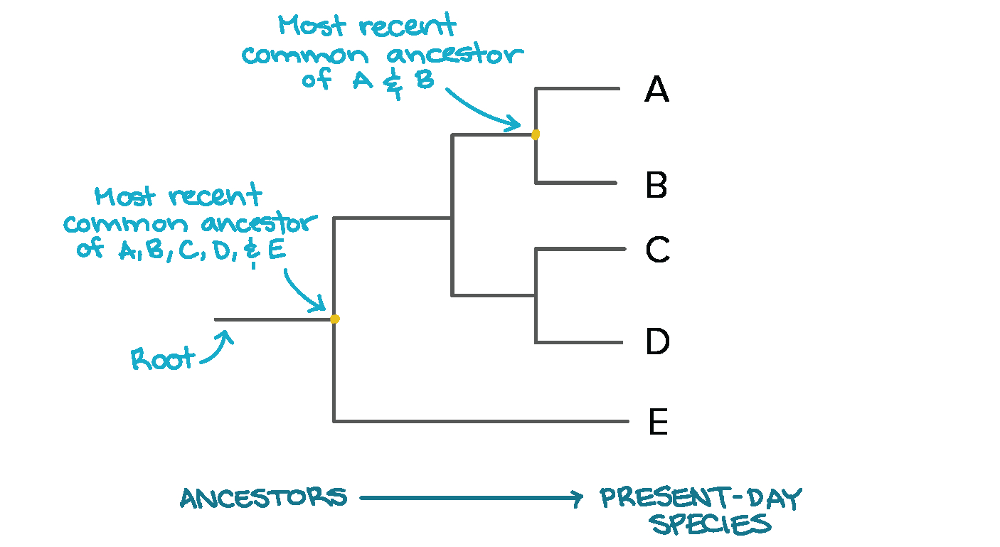 Tree Diagram Definition Phylogenetic Trees Evolutionary Tree Article Khan Academy