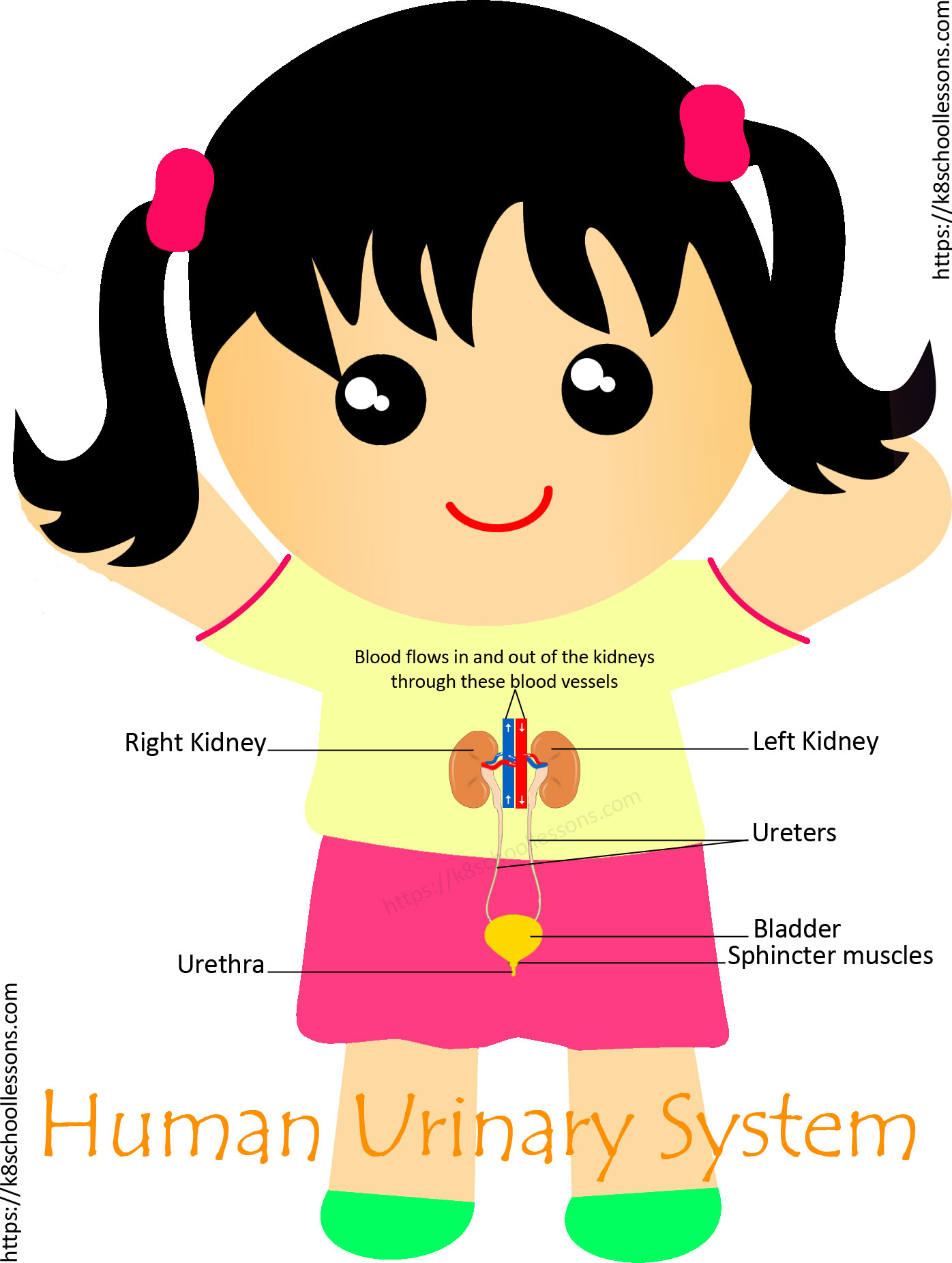 Urinary System Diagram Urinary System For Kids Human Urinary System Human Body Facts