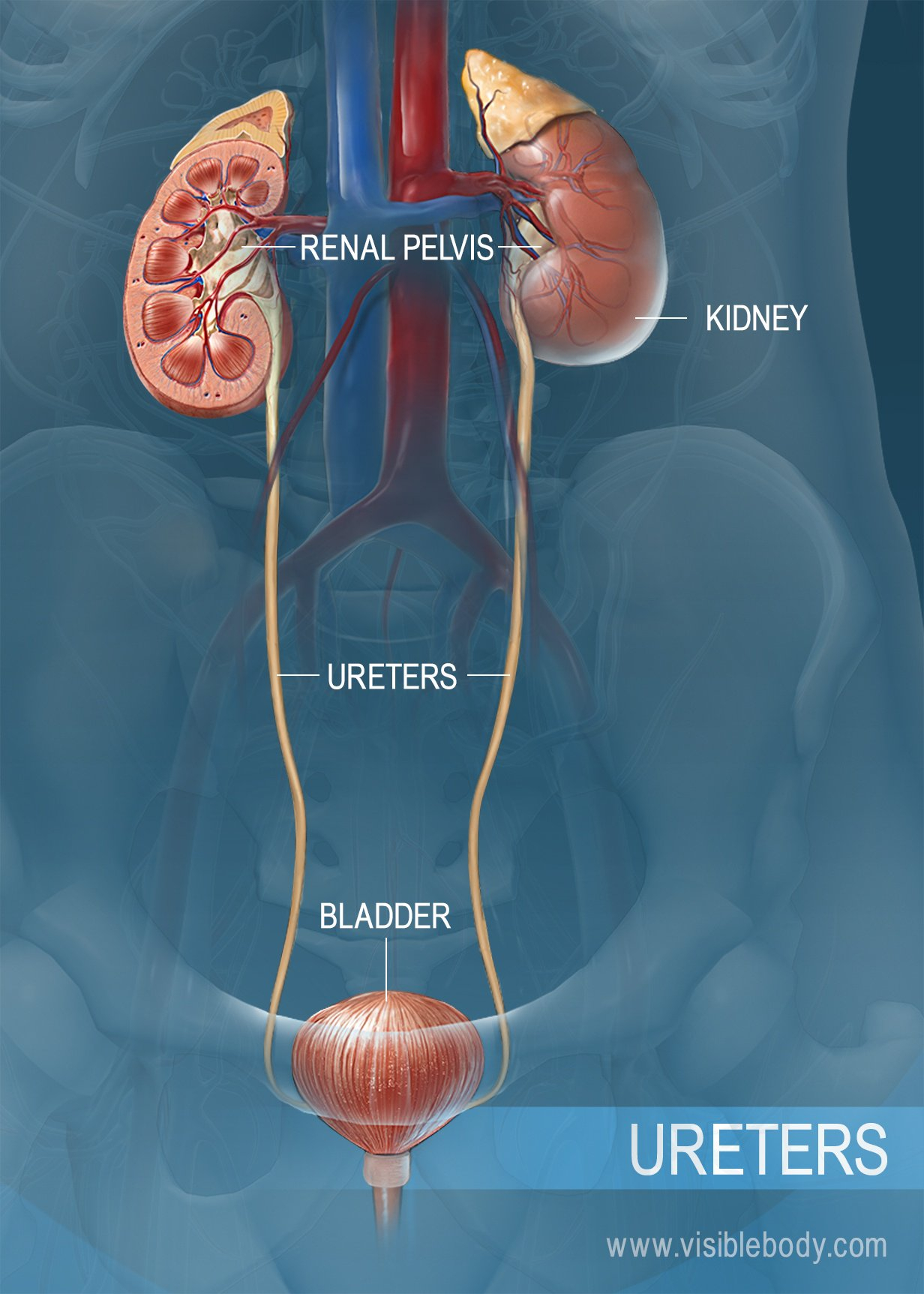 Urinary System Diagram Urinary System Structures