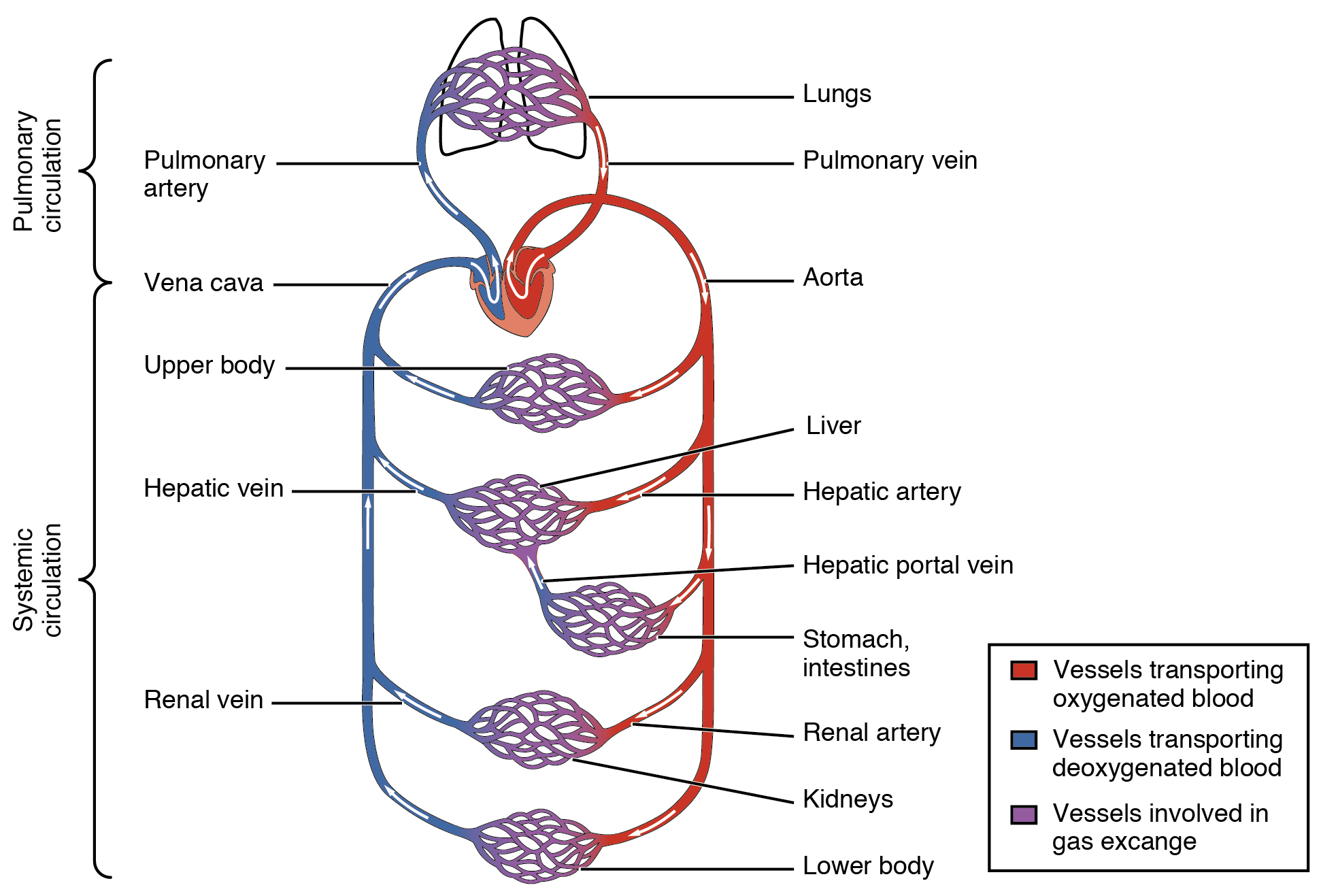 Veins And Arteries Diagram 201 Structure And Function Of Blood Vessels Anatomy And Physiology
