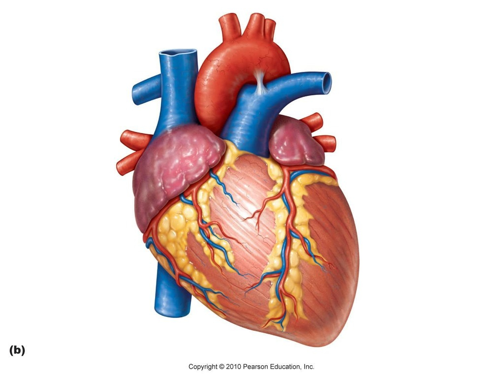 Veins And Arteries Diagram Anterior View Of Hearts Veins And Arteries Diagram Quizlet