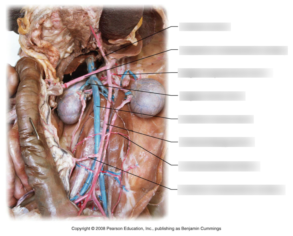 Veins And Arteries Diagram Ap Cat Veins And Arteries Diagram Quizlet