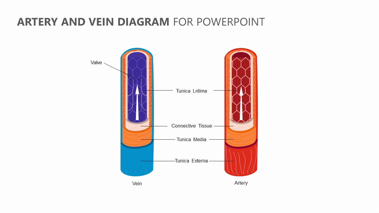 Veins And Arteries Diagram Artery And Vein Diagram For Powerpoint Pslides