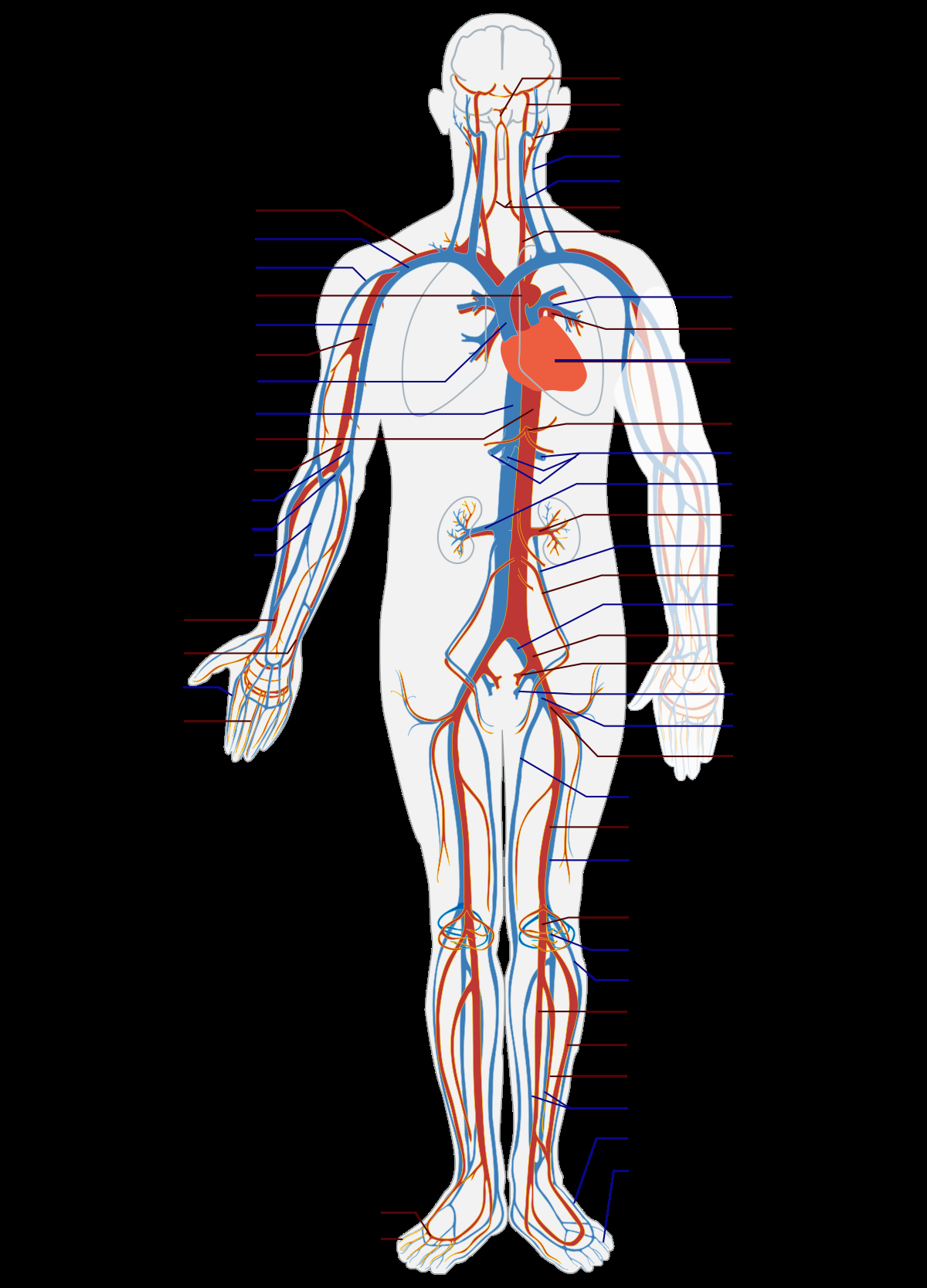 Veins And Arteries Diagram Blood Vessel Wikipedia