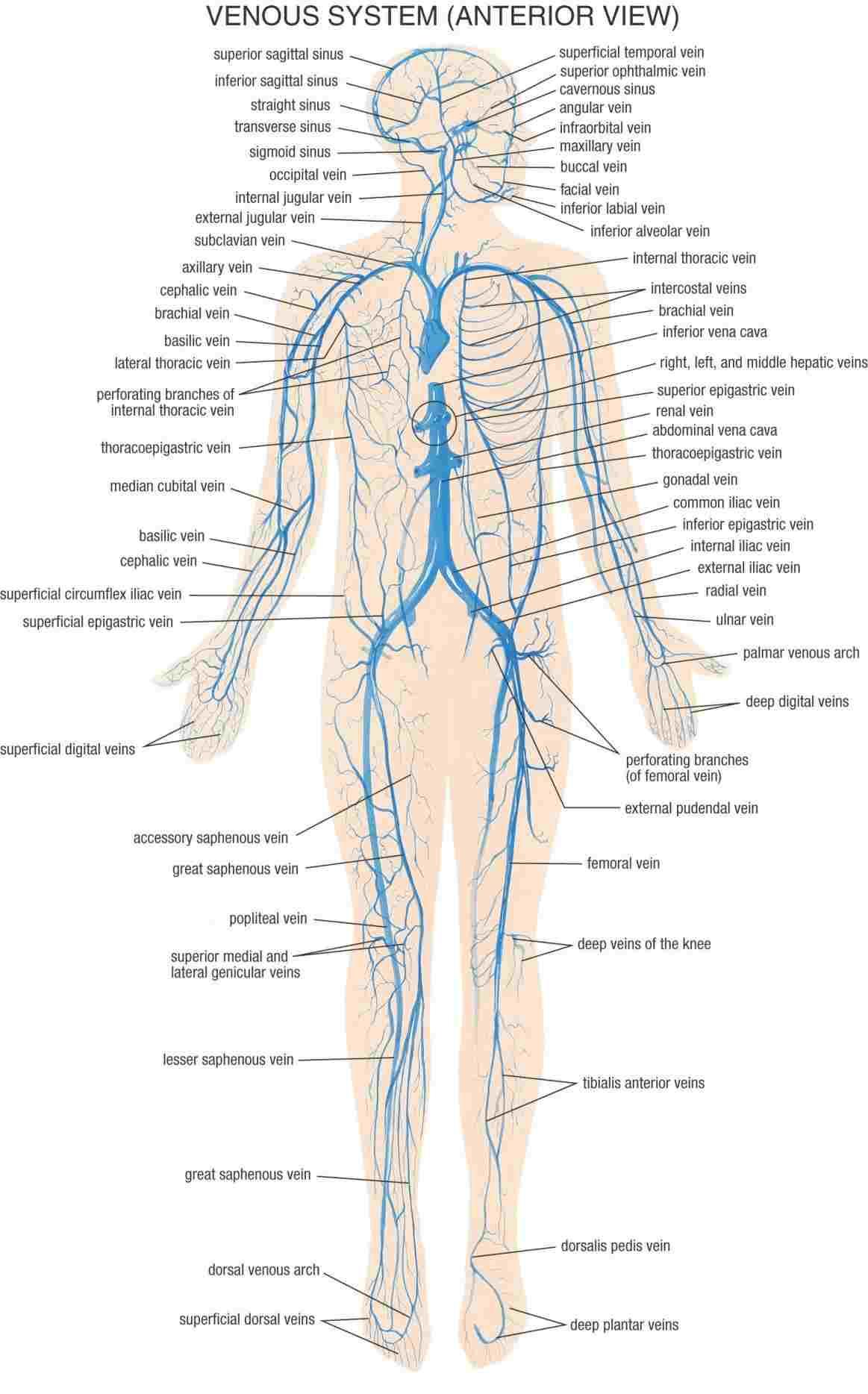 Veins And Arteries Diagram Diagram Of Body Veins Wiring Schematic Diagram