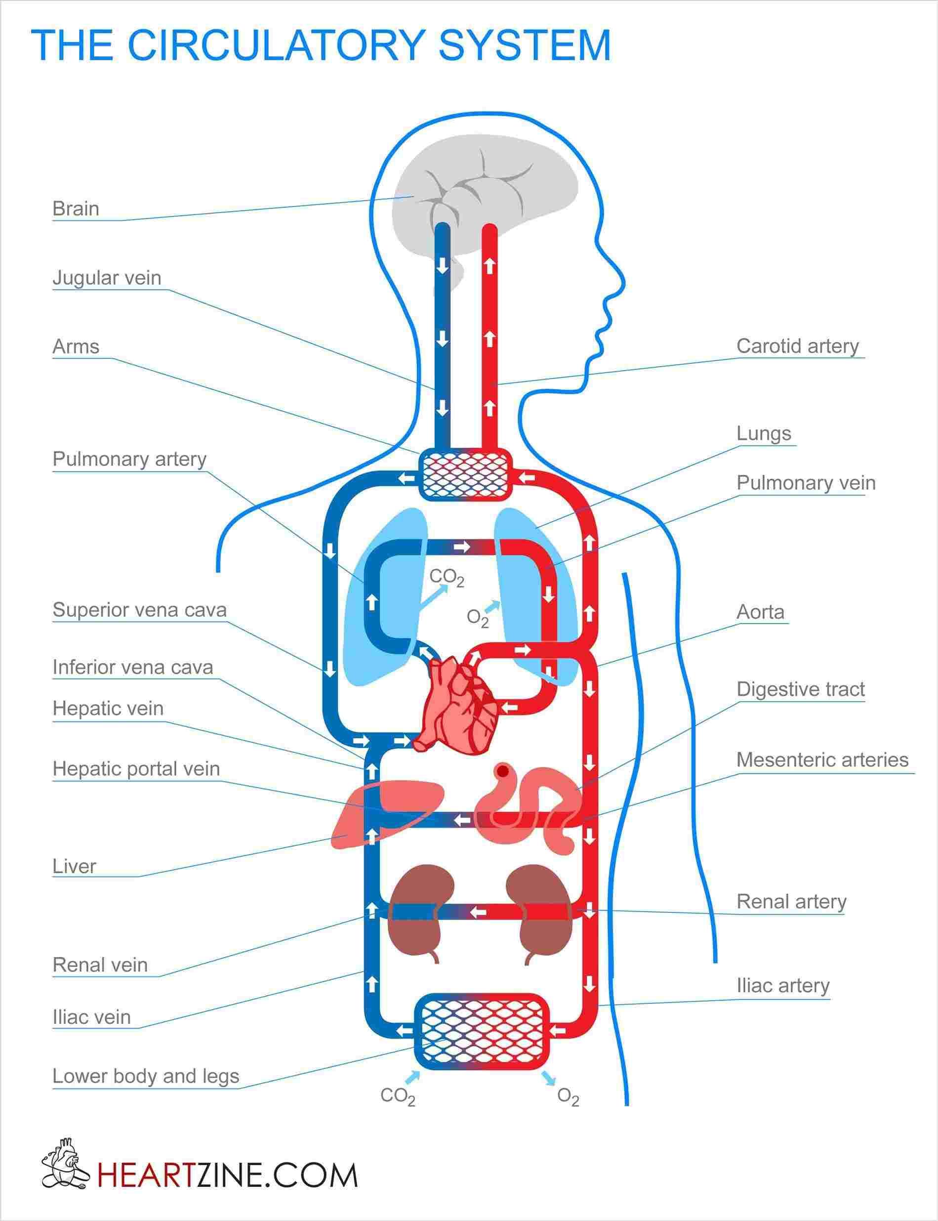 Veins And Arteries Diagram Human Veins And Arteries Diagram Diagram Of Anatomy