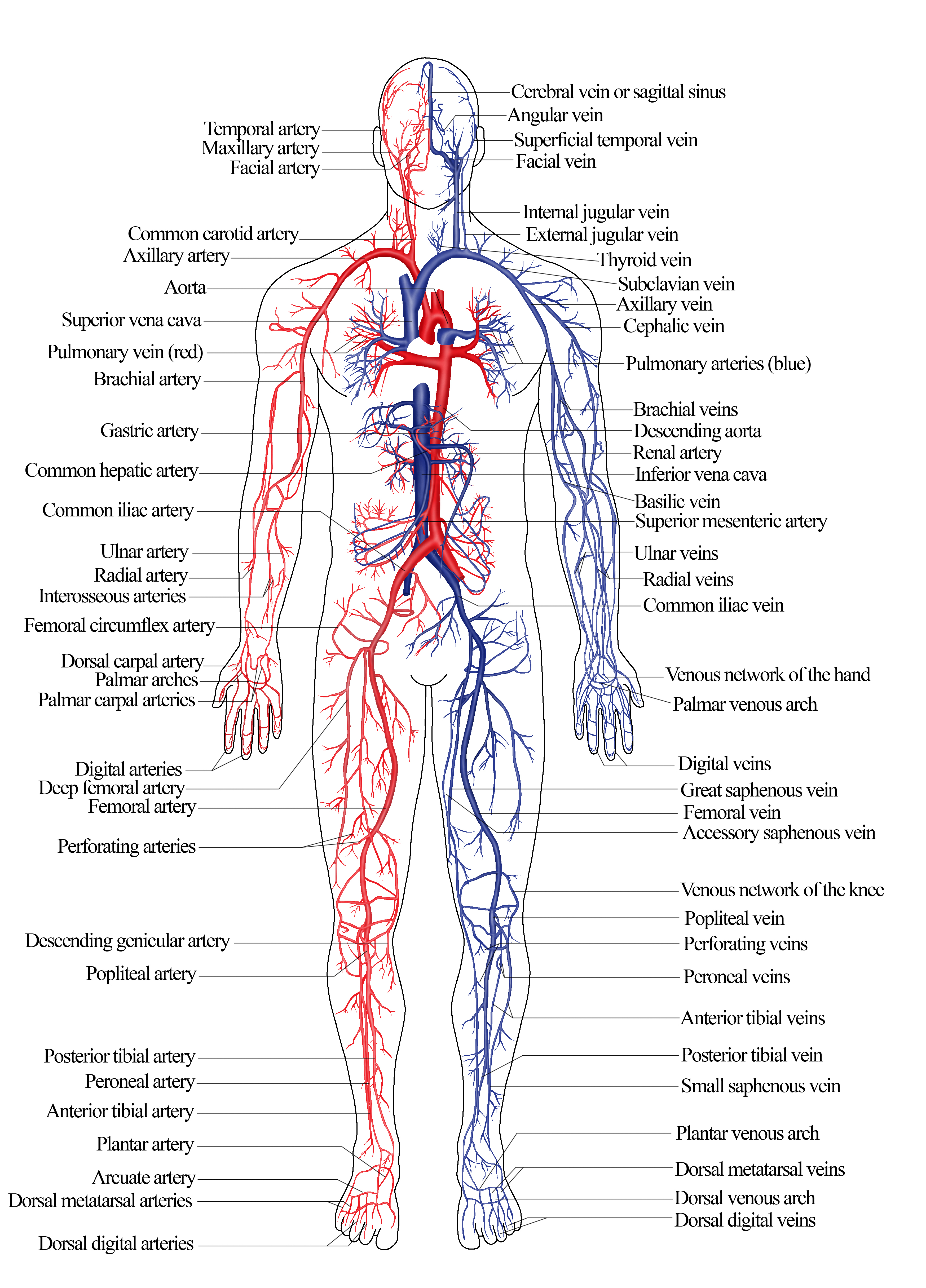 Veins And Arteries Diagram Nroer File Image Arterial And Venous System Of Humans