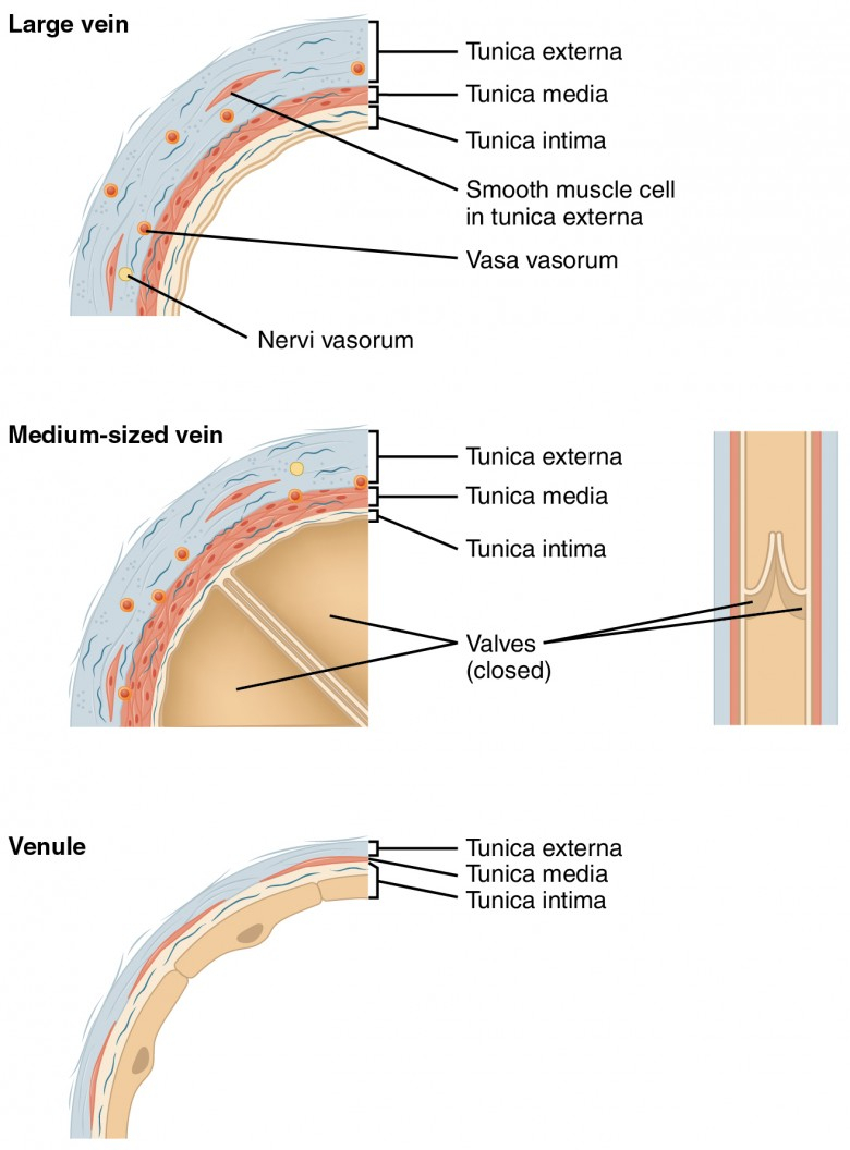 Veins And Arteries Diagram Structure And Function Of Blood Vessels Anatomy And Physiology Ii
