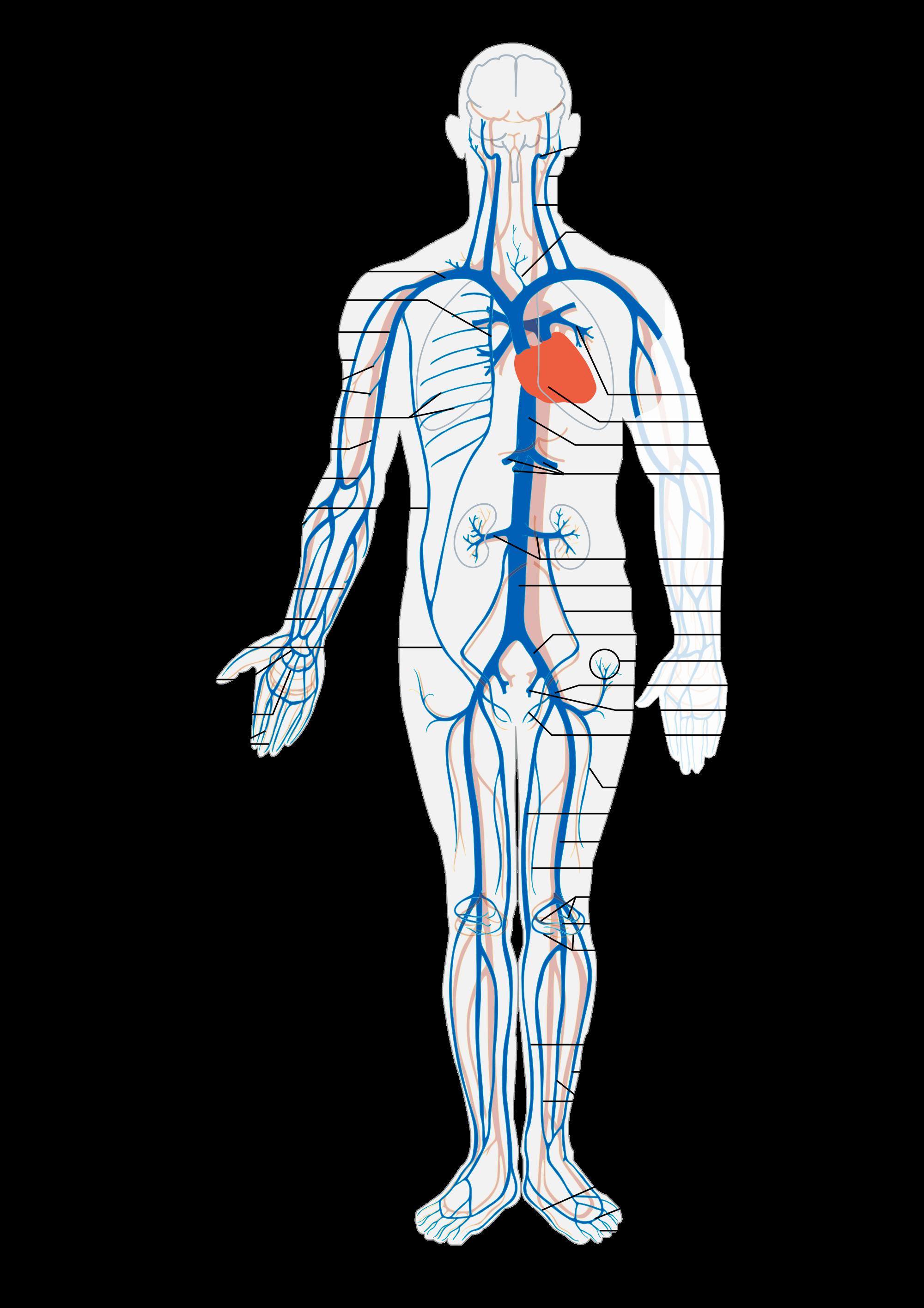 Veins And Arteries Diagram Vein Wikipedia