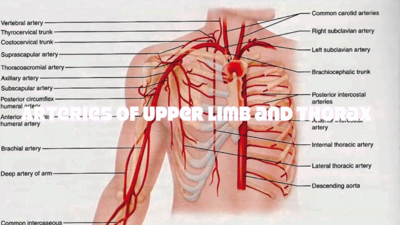 Veins And Arteries Diagram Veins And Arteries Of The Upper Human Body Tutorial